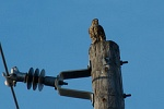 red-tailed hawk feeding by sdfrederiksen