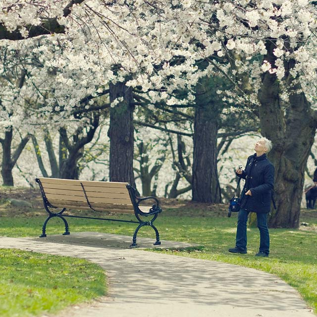 High Park Cherry Blossoms by Miles Storey