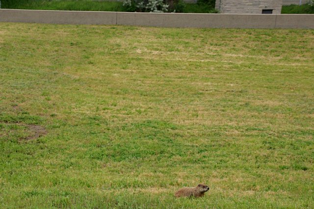 Groundhog stakes out his turf near the northbound lanes of the DVP