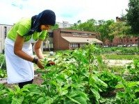 Asmaa Er-Roughi, a youth staff member at Bendale's Market Garden, picks calalloo in front of the school.