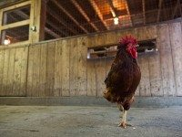 A chicken at Riverdale Farm. Photo by Giordano Ciampini.