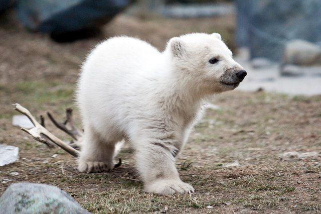 Cute baby polar bear is cute.