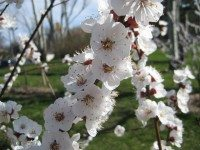 Apricot trees in blossom at Ben Nobleman orchard. Photo courtesy of Susan Poizner.