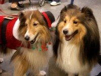 20121119woofstock_shelties.jpg