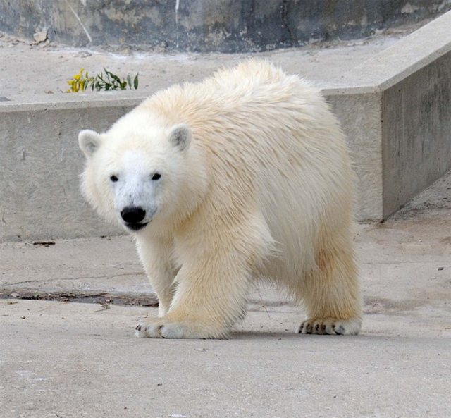 20120117hudson-the-polar-bear-toronto-5