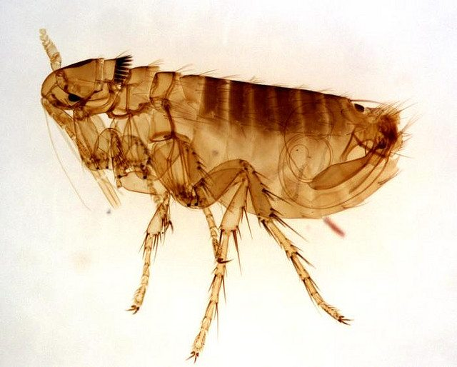 """A flea, up close. Image by {a href=""""http://www.flickr.com/photos/36128932@N03/3404894430/in/photostream""""}kat m research{/a}, from Flickr."""