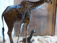 It's a girl! Baby Masai giraffe at the Toronto Zoo, along with mother Twiga. Photo courtesy of the Toronto Zoo.