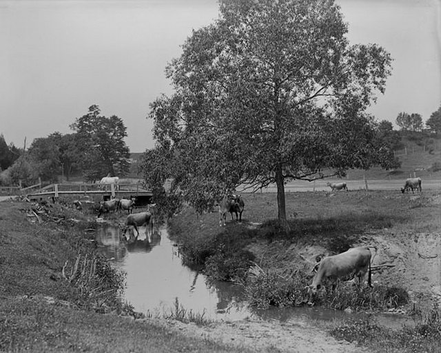 Jersey cattle at pasture at Dentonia Park Farm, no date  From the Library and Archives Canada