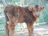 Highland calf. Photo courtesy of Sarah Doucette, from the Friends of High Park Zoo Facebook page..