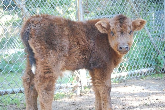 Highland calf  Photo courtesy of Sarah Doucette, from the Friends of High Park Zoo Facebook page