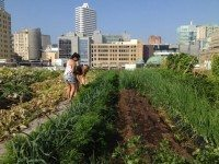 Leeks, squash, and carrots are some of the vegetables ready for harvest in August on this part of Ryerson's green roof.