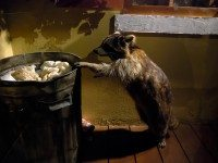 A raccoon stands on its hind legs to peer into a garbage can.