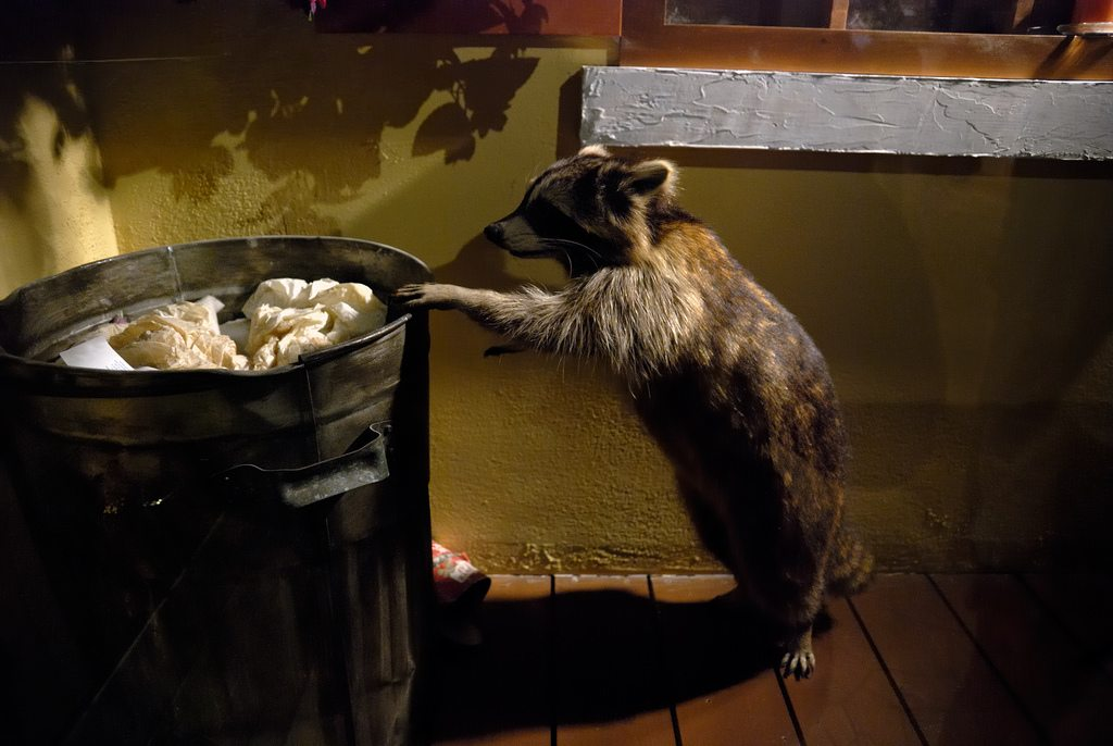 A raccoon stands on its hind legs to peer into a garbage can