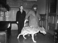Joe LaFlamme, bringing a wolf into a government office, probably in the early 1940s.  City of Toronto Archives, Fonds 1257, Series 1057, Item 3328.
