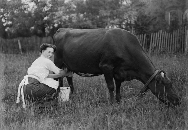 Milking cow on D.D. Reid farm, North Toronto, 1908. City of Toronto Archives, Fonds 1244, Item 1984.